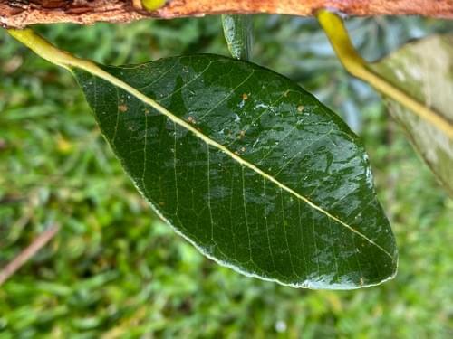 Pseudocaryopyllus pimenta ( Myrtaceae )