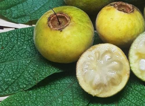 Sete Capotes ( Campomanesia Guazumifolia )
