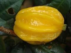 Pitangatuba ( Eugenia Neonitidia )