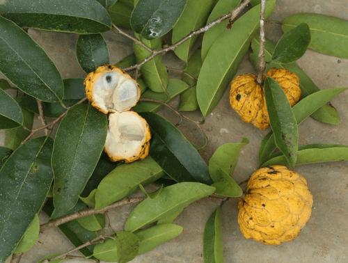 Annona neosalicifolia