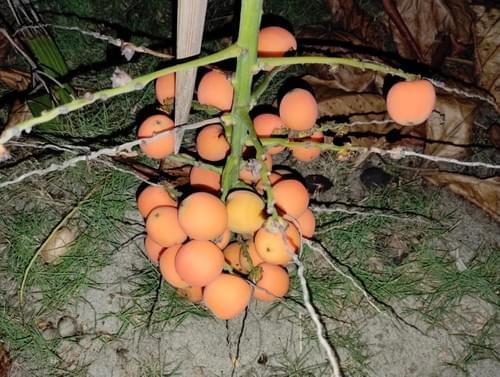 Arikury Palm ( Syagrus schizophylla )
