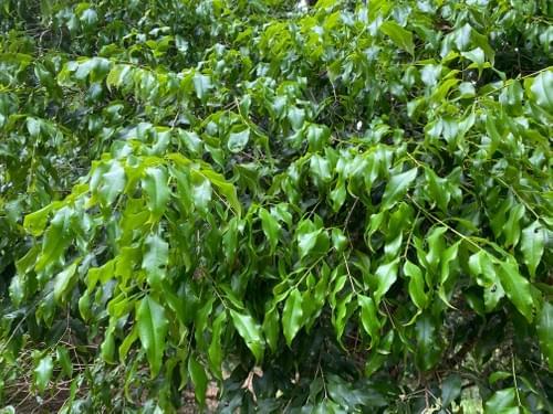"""Plinia sp var """" Wavy leaves """""""
