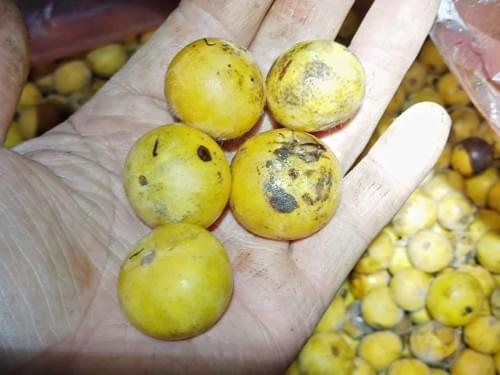 Cabeludinha da Cruz ( Myrciaria Galzoviana )