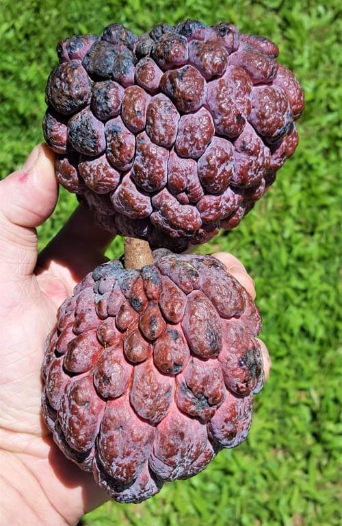 Annona Kampong Mauve ( Annona Squamosa)