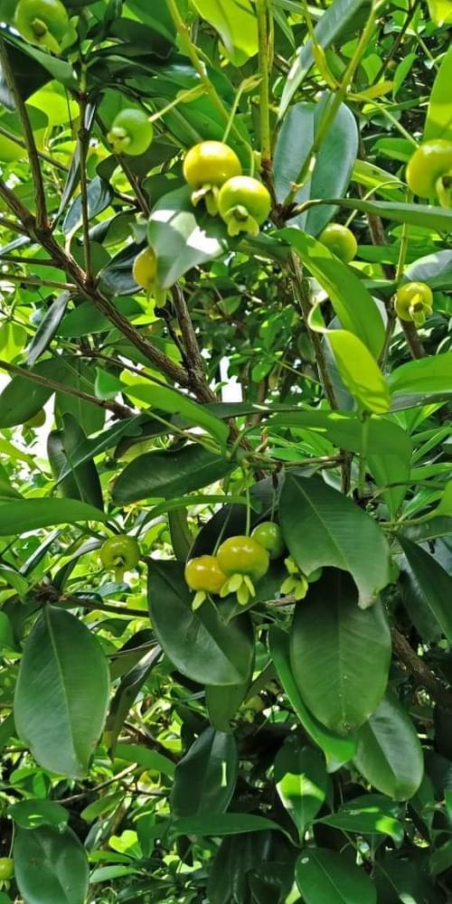 Eugenia Brasiliensis var. Yellow aka Yellow  Grumixama