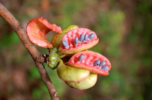 Monkey pepper ( Xylopia aromatica )