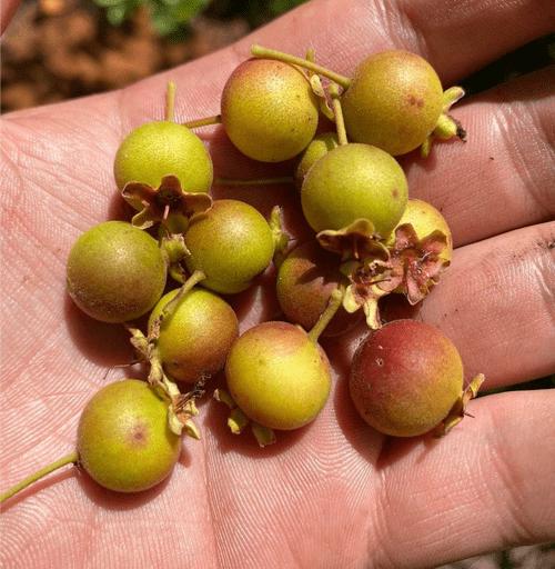 Red campomanesia ( Campomanesia sp Vermelha )
