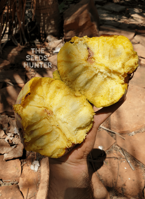 Annona coriaceae var Casca lisa pulpa amarella