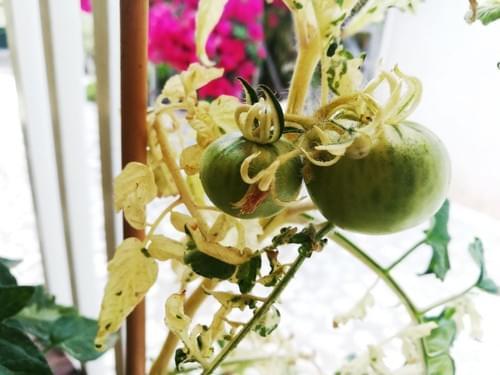 Variegated Tomatoe ( Solanum Variegata)