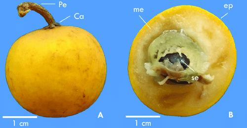 Sarcaulus brasiliensis