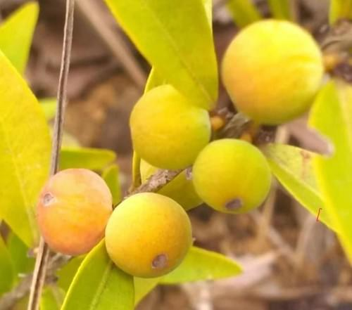 Myrciaria sp Green Cerrado