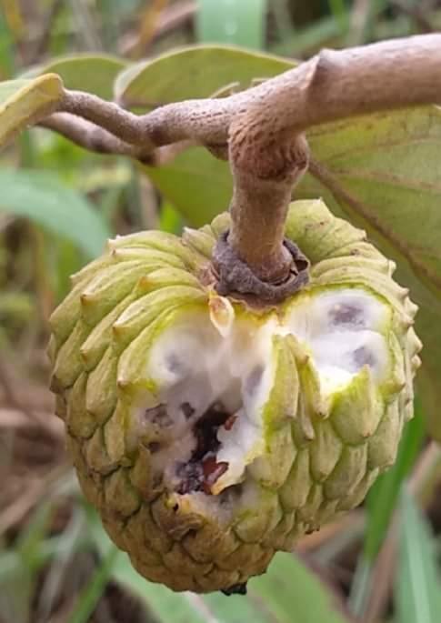 Araticum do Cerrado ( Annona sp Cerrado)