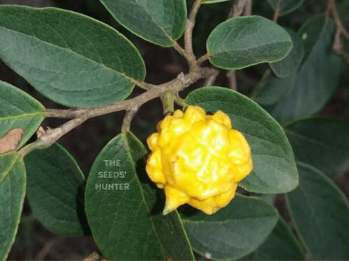 Annona malmeana ( Annona tomentosa x Annona coriacea)