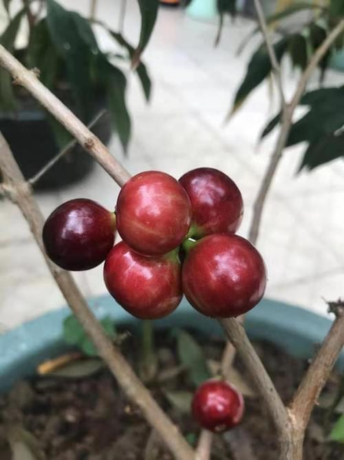 Plinia Cauliflora  Açu Paulista