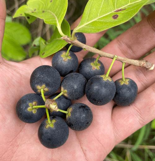 Maraçanduba ( Pouteria gardneri )