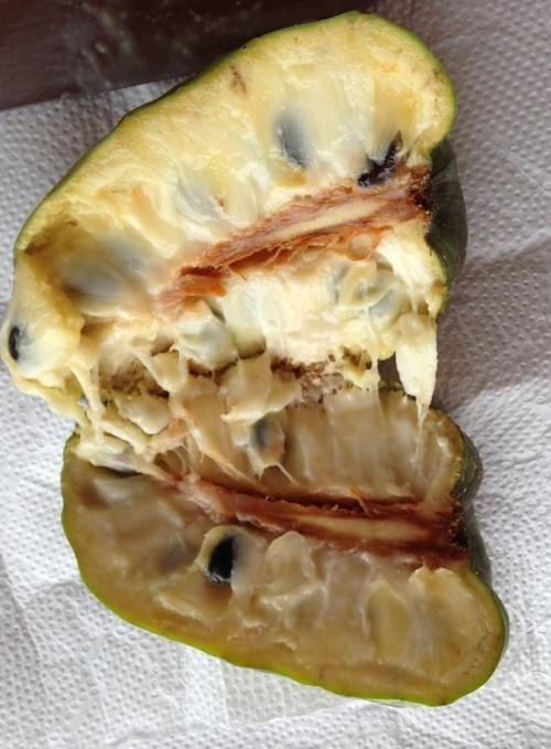 Annona cacans