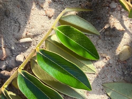 Caquizinho da mata ( Diospyros sericea _Ebenaceae )