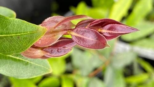 5 Plinia sp. – Jabuticaba Açú-canaã seeds ( Myrtaceae )