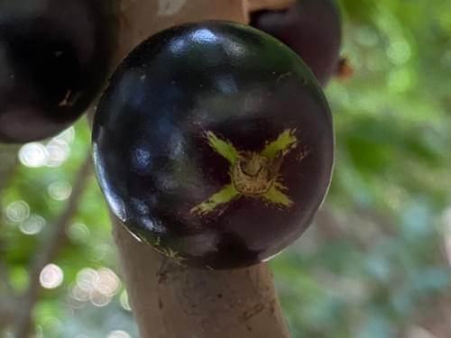 Coroada da Divinolândia ( Plinia coronata _Myrtaceae )