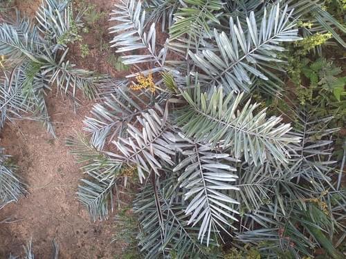 Syagrus microphylla