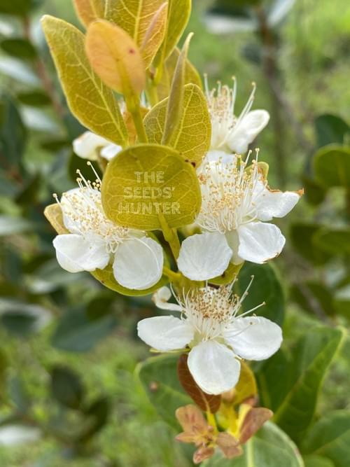 Campomanesia aurea