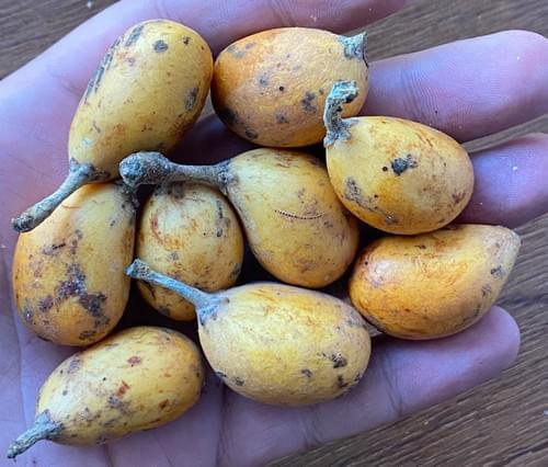 Marmixa do mato ( Pradosia lactescens _ Sapotaceae )