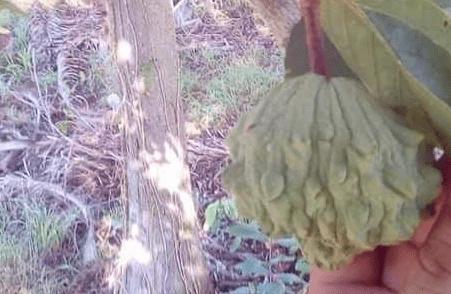 Annona cubensis