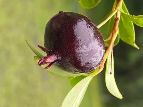 Eugenia neomyrtifolia ( Myrtaceae _ 1 germninated seed )