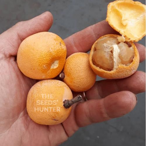 Fruta do caramelo ( Salacia sp) ( 4 seeds )