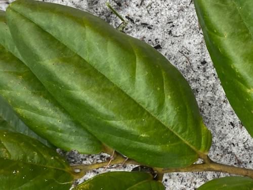 Caquizinho da Restinga ( Diospyros sp _Ebenaceae )