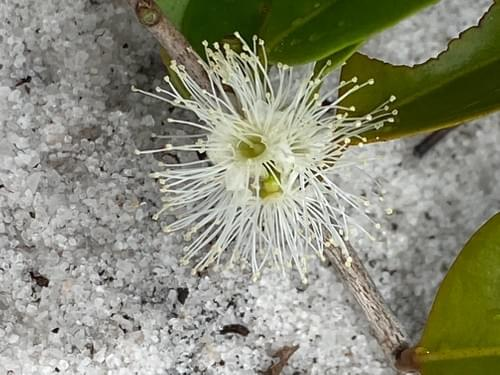 Myrciaria sp Gin & Tonic _ Myrtaceae