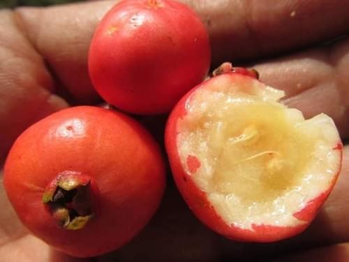 Araça do cerrado ( Psidium sp )