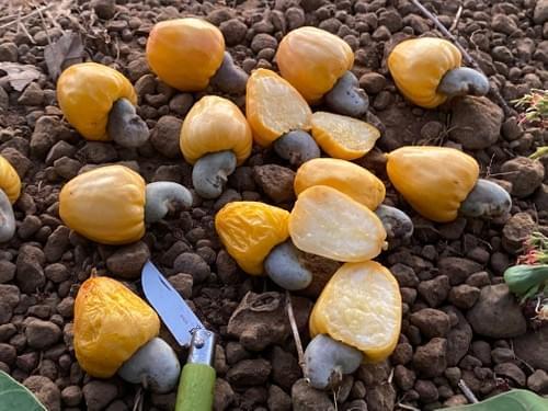 Cajuzinho Amarelo ( Anacardium humile _Anacardiaceae )