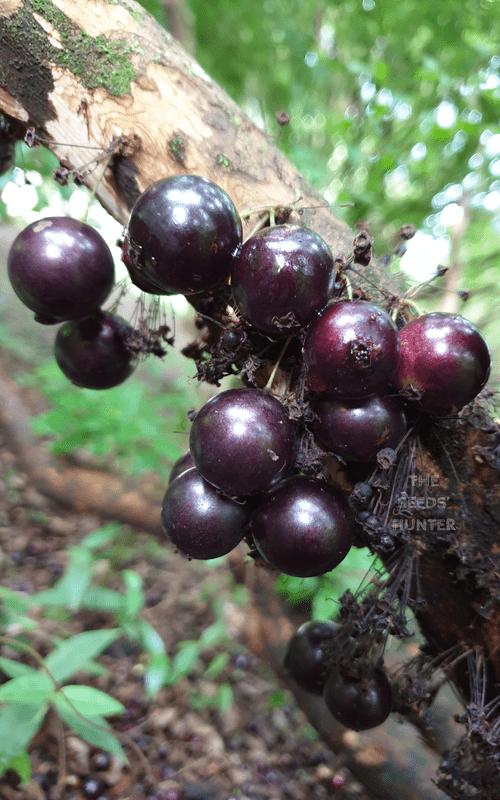 "Plinia trunciflora var "" Café Ipuiùna """