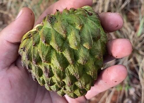 "Annona warmingiana var  ""Giant """