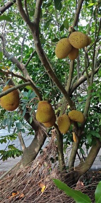"""Maji"" Jackfruit ( Artocarpus Heterophyllus )"