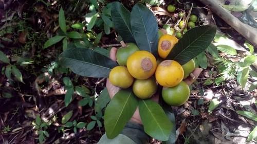 Pouteria dominguensis subp dominguensis