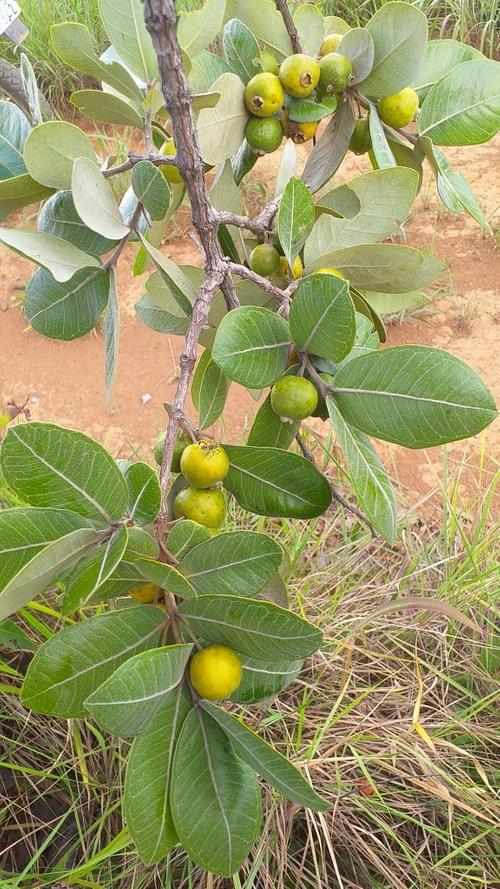 Psidium polianum