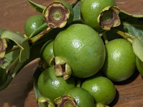 Psidium firmum _Myrtaceae