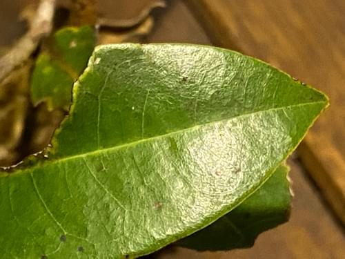Duguetia moricandiana