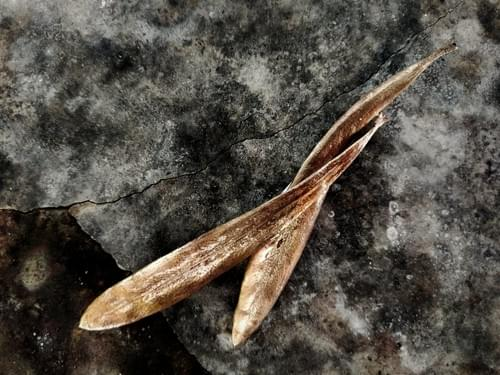 Tasmanian waratah leaf brooch