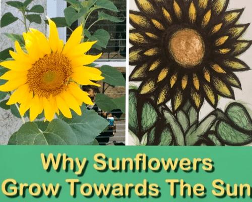 Why Sunflowers Grow Towards the Sun