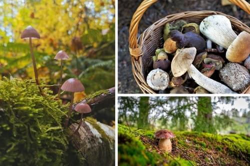 Sortie champignons en novembre : initiation à la mycologie (Mont Aigoual - 30)