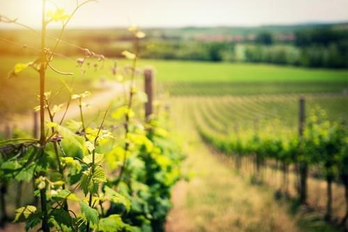 Escape game dans les vignes & dégustations de vin (St Christol - 34)