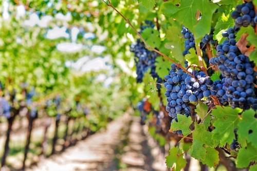 Dégustation & escapade en VTT électrique au cœur des vignobles du Pic St Loup (Valflaunès - 34)