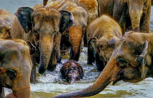 Pinnawala Elephant Orphanage, Sri Lanka.