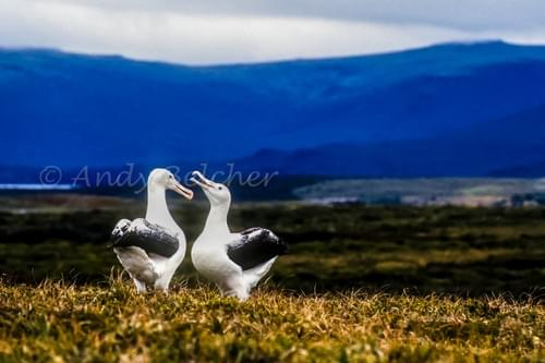 Royal Albatross. Auckland Islands, Sub Antarctic.