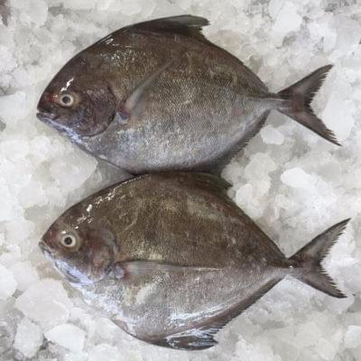 FROZEN BLACK POMFRET | 鲜冻黑鲳鱼 200-300G/PCS