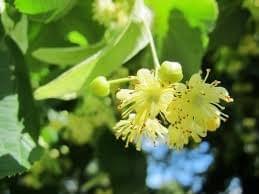Tila/Linden Flower