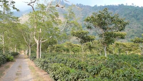 グアテマラ サント・トーマス・パチュージ農園 イエローブルボン